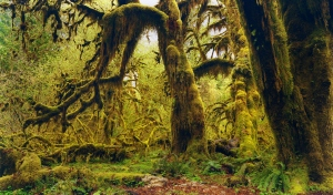 Hanging moss in Hoh National Forest